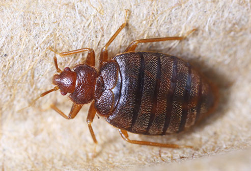 getty_rm_photo_of_bed_bug_closeup