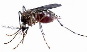 aedes22