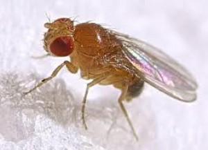 komar-pappataci